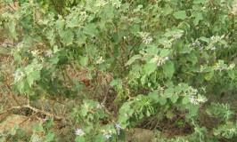 weed-brahathi-patram-1
