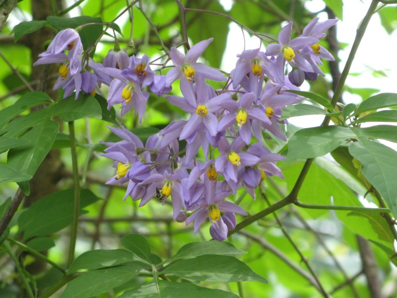 Solanum dulcamara - Woody Nightshade - Bittersweet Nightshade