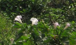 wild-plants-datura1