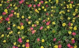 Table Rose – Sun Plant – Portulaca Grandiflora
