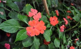 Busy Lizzie – Impatiens
