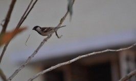World Sparrow Day 2014