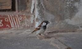 World Sparrow Day 2015