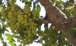 Star Gooseberry
