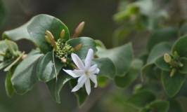 Malabar Jasmine
