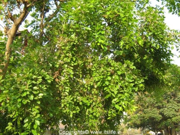 Honge Or Indian Beech Tree Itslife In