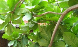 Indian Almond Tree