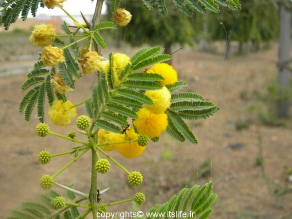 Yellow Mimosa | Flowering Trees | Gardening