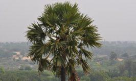 Palmyra Tree