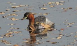 Aquatic birds of Hadinaru Kere