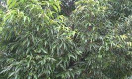 Mast Tree