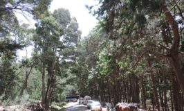 Pine forests of Kodaikanal