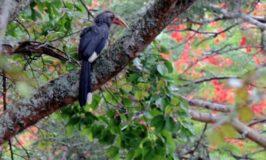 Malabar Hornbill in Masinagudi