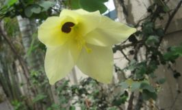 Yellow Orchid Tree