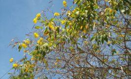 Chestnutleaf Trumpet bush tree